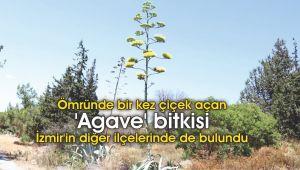 'Agave' bitkisi İzmir'in diğer ilçelerinde de bulundu