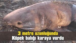 3 metre uzunluğunda köpek balığı karaya vurdu